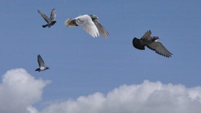 Dans un groupe de pigeons voyageurs en vol, les meneurs sont les plus rapides © Zsuza Akos