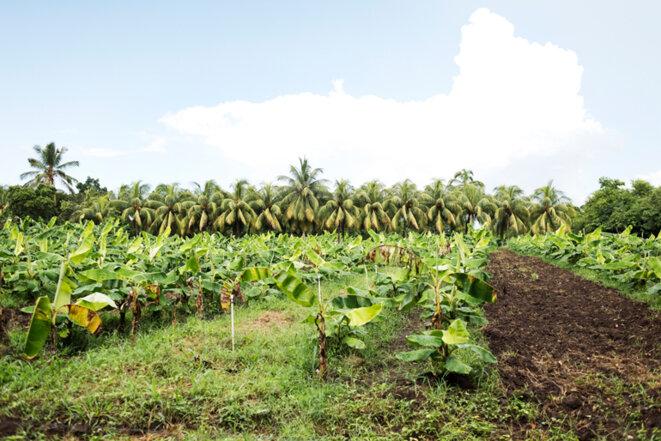 Plantation de bananes sur les meilleures terres de Rivas, où devraient être construits un aéroport ou une zone franche. © Jean de Peña