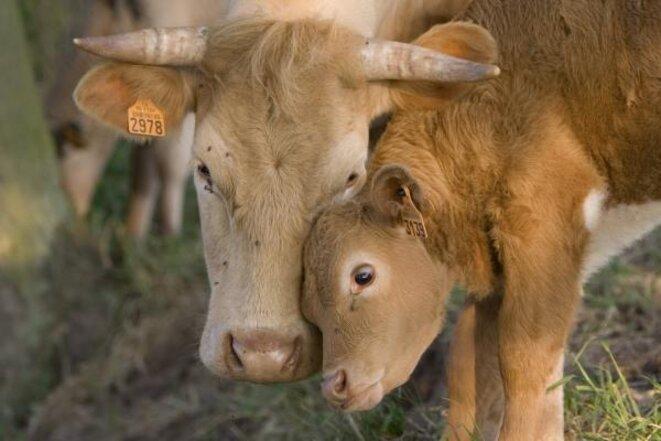 vache-veau-calins2