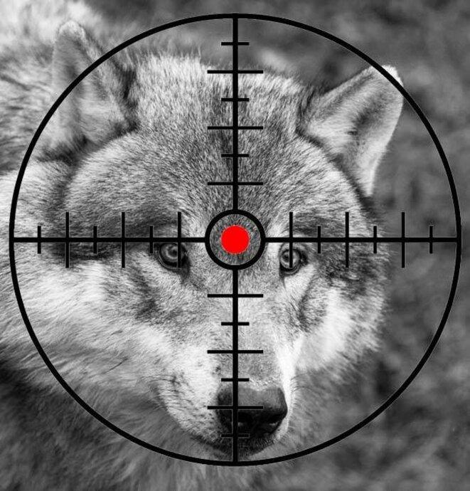 tirs de loups