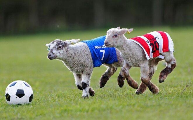 potd-lambs-footbal-2883832k