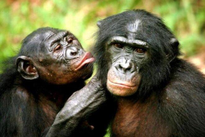 Bonobos en train de se toiletter dans la réserve de Sankuru, en République démocratique du Congo © Reuters/Finbarr O'Reilly