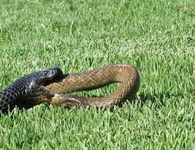 serpent-avalant-un-autre-serpent