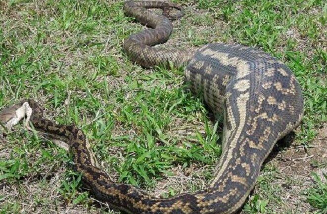 serpent-ayant-avale-un-autre-animal