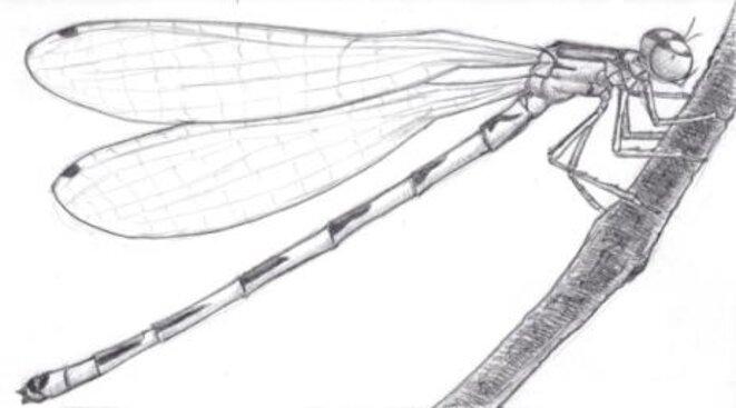 Demoiselle (sous-ordre zygoptera) © julien populin