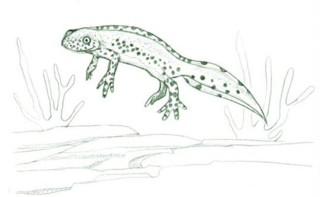 Triton alpestre (Ichthyosaura alpestris) © julien populin