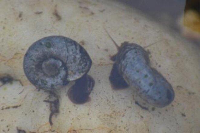 Planorbes (famille des Planorbidae)