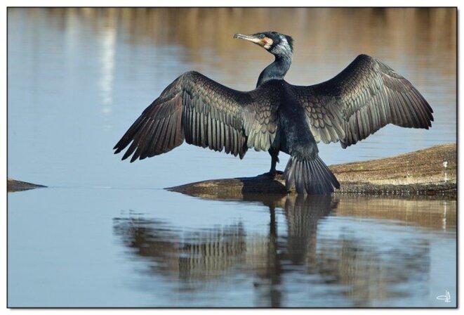 cormoran1