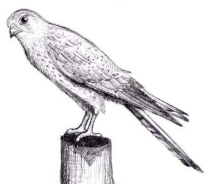 Faucon crécerelle (Falco tinnunculus) © julien populin
