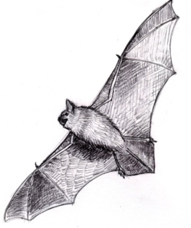 Pipistrelle (pipistrellus sp.) © julien populin