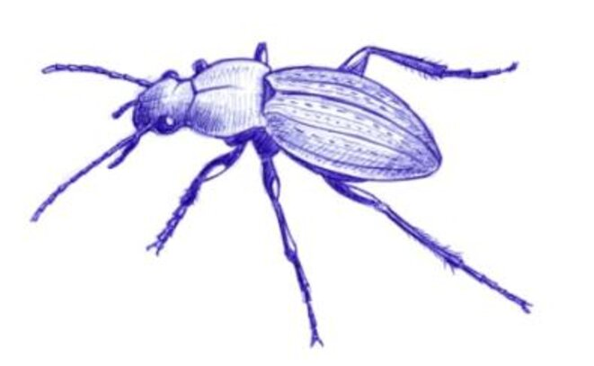 Carabe (famille des Carabidae) © julien populin