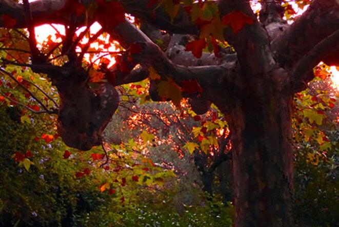 platane-automne