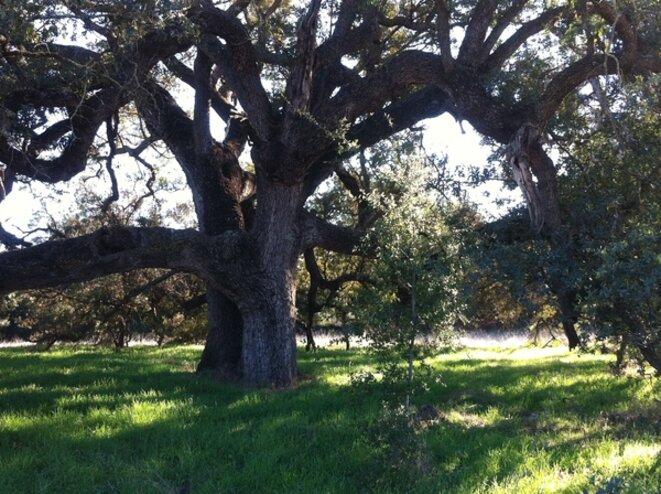 arbre-majestueux-temecula