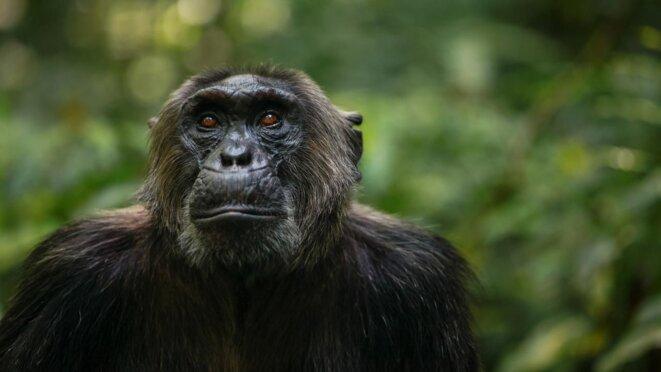 Les chimpanzés ont de l'ADN de bonobo dans leur génome © Kevin Langergraber