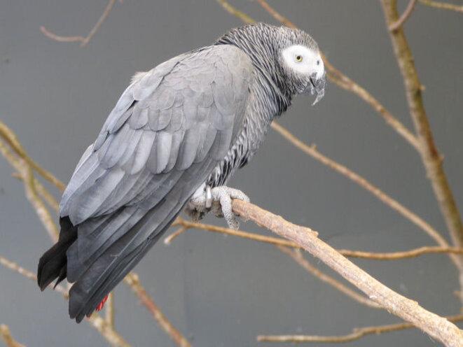 perroquetgrisdugabon-2497