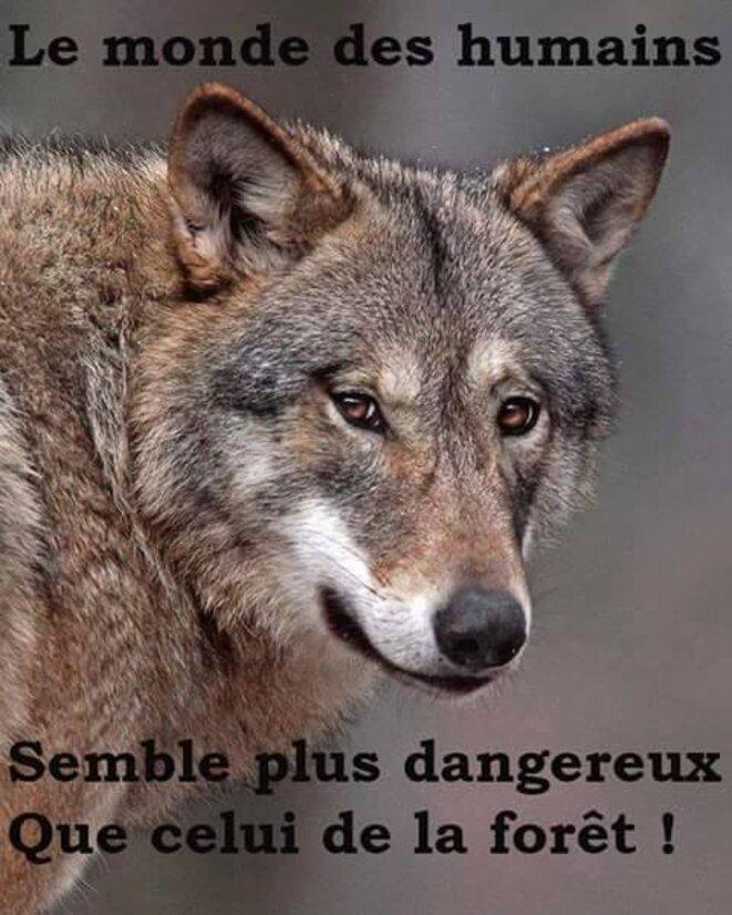 homme danger pour loup