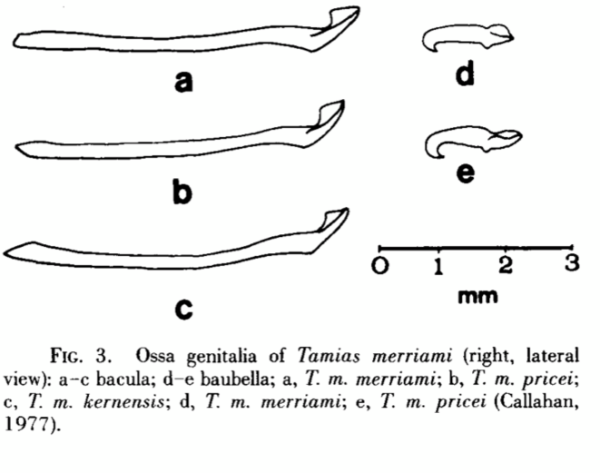 Os génitaux de Tamia de Merriam, d'après Mamalian Species, n°476, pp. 1-9, 2 décembre 1994 © http://www.science.smith.edu/departments/Biology/VHAYSSEN/msi/pdf/i0076-3519-476-01-0001.pdf