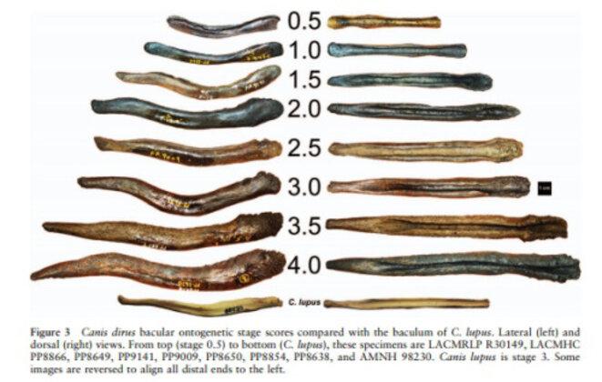 Baculums de plusieurs spécimens de loups du pléistocène (Canis dirus), canidé d'Amérique du nord disparu il y a 10.000 ans , © Scottie Westfall (https://retrieverman.net/tag/baculum/)