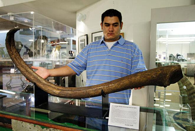 Baculum fossile de morse, trouvé en Sibérie et daté de 12.000 ans © Scottie Westfall (https://retrieverman.net/tag/baculum/)