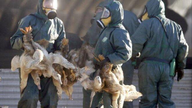 L'abattage pourrait concerner un million de canards © Reuters