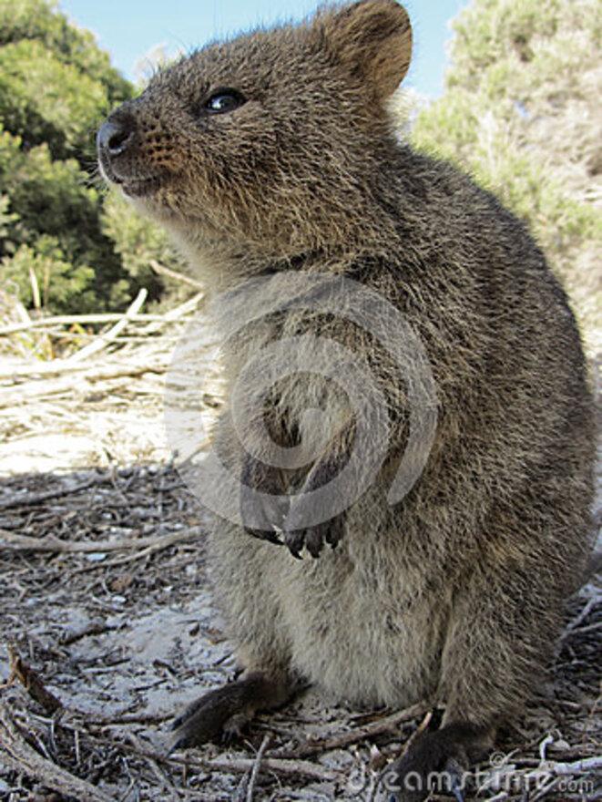 quokka-setonix-brachyurus-its-natural-habitat-rottnest-island-western-australia-30074758-1