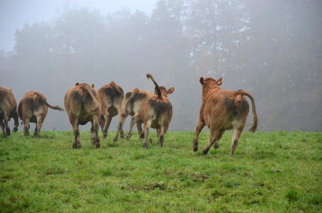 Quand les vaches deviennent folles © Jean-Marie Davoine