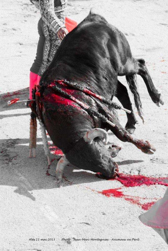 agonie taureau © x