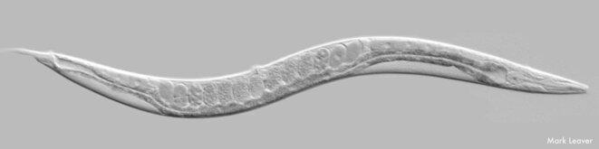 caenorhabditis-elegans