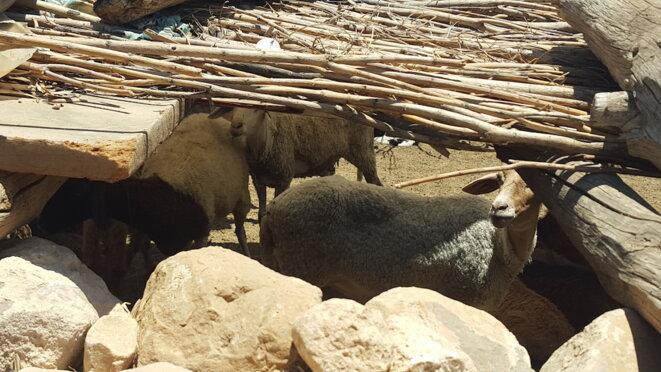 Les derniers moutons de la famille Soltani © L. B.