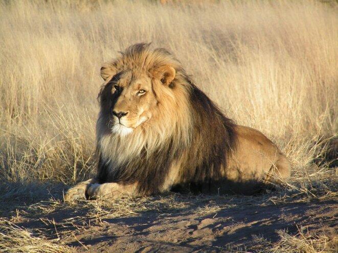 Entre 1900 et 2015, le lion a perdu les deux tiers de son territoire en Afrique