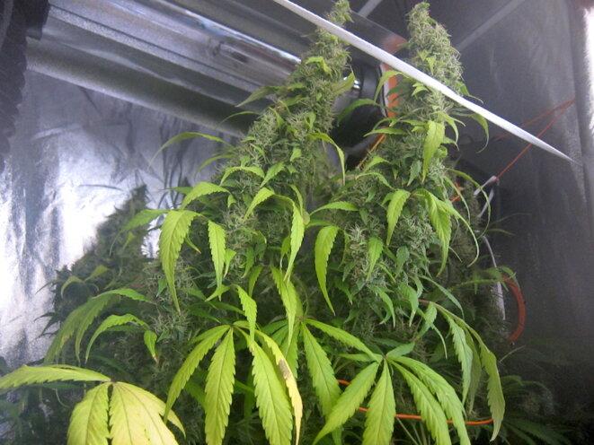 L'autoproduction de cannabis séduit de plus en plus de fumeurs, ici à Marseille en 2013. © LF