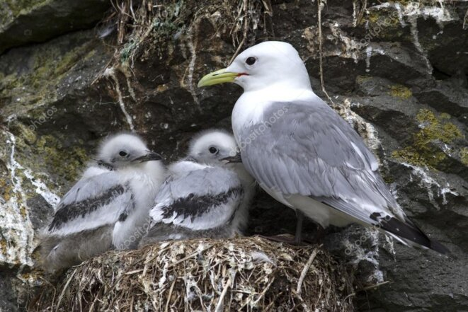 depositphotos-92902402-stock-photo-black-legged-kittiwake-adult-and