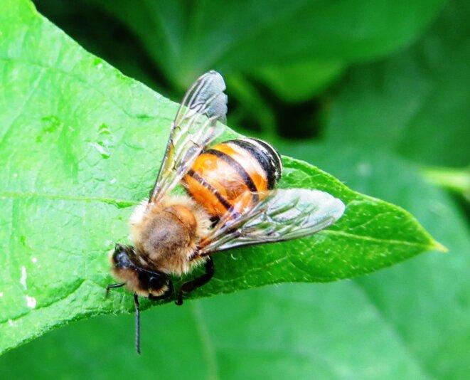 abeille-3