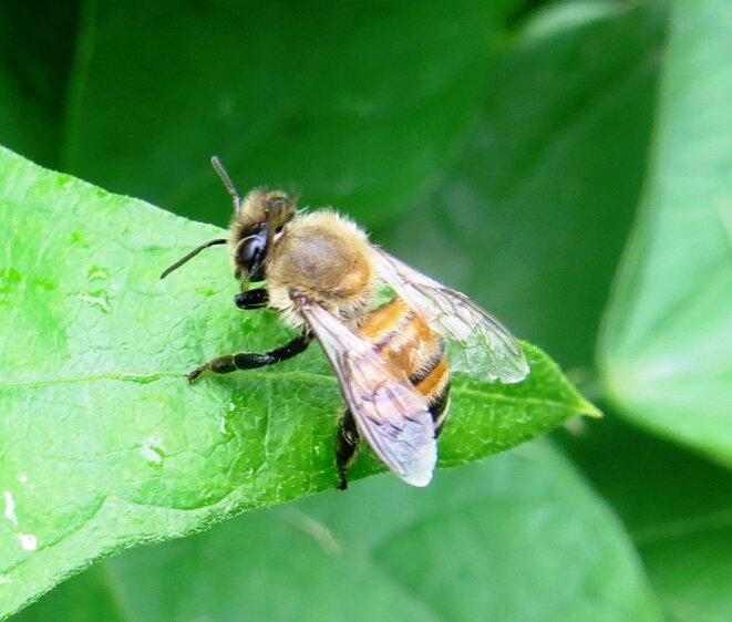 abeille-eau