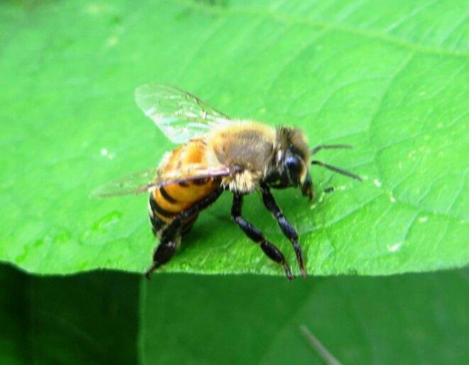 abeille-profil