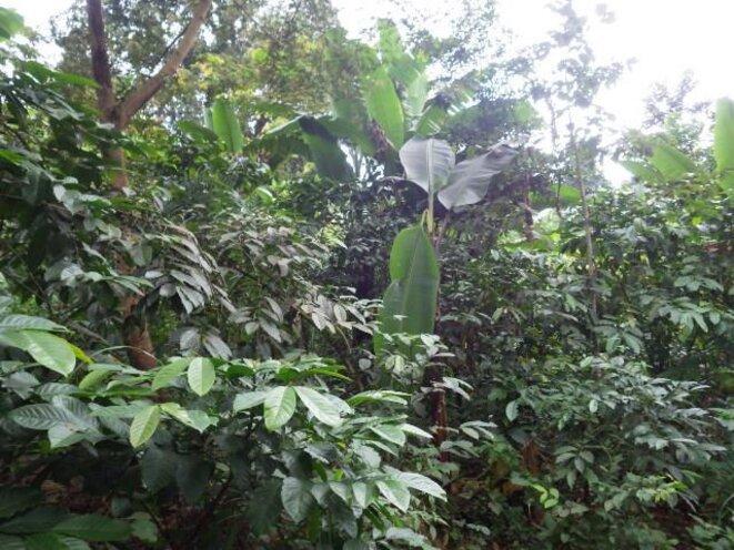 Champ de café et bananiers avec arbres fertilitaires