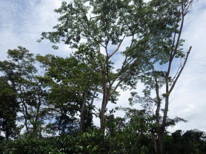 Champ de caféier sous arbres fertilitaires
