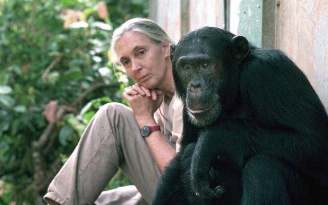 jane-chimpanze