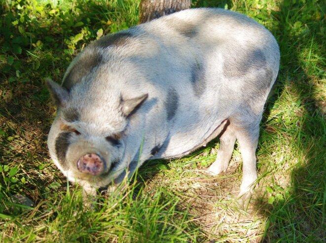 "PorcTrait de Harvey WEINSTEIN ""SwineStein"" (C)"
