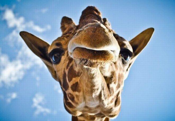 girafe-1743-990x7421-zoom