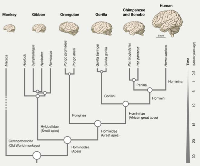 Arbre phylogénétique des primates. L'humain (human) un homininé (homininae), un hominidé (hominidae), un hominoïde (hominoidea), @Sousa et al., Evolution of the human nervous system function, structure, and development, Cell, 2017.