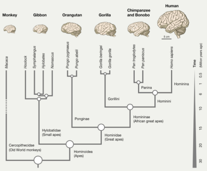Arbre phylogénétique des primates. L'humain (human) est un hominine (hominina), un hominini, un homininé (homininae), un hominidé (hominidae), un hominoide (hominoidea), @Sousa et al., Evolution of the human nervous system function, structure, and development, Cell, 2017.
