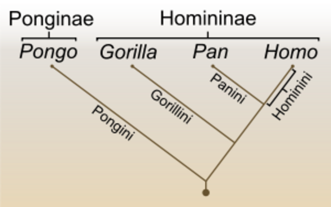 pan-homo