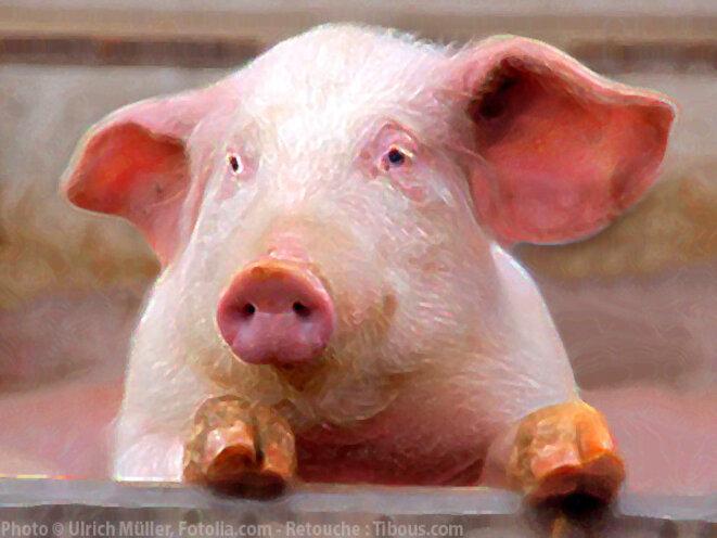 Une vraie t te de cochon le club de mediapart - Tete de cochon a colorier ...