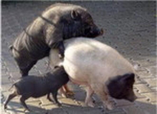 cochons-de-cochons