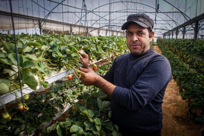 Akram Abu Khosa continue d'essayer de vivre de sa terre et de résister en tentant d'exporter ses fraises © Thomas Cantaloube