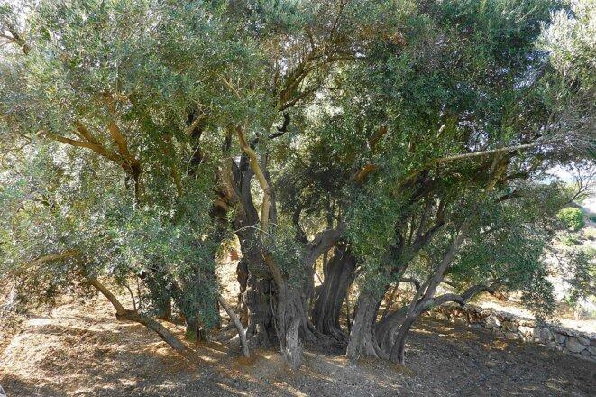 Le vieil olivier palestinien d'Al-Walaja près de Bethléem. Symbole de paix toujours debout malgré ses plus de 3 000 ans !