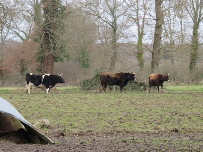 les vaches © VL