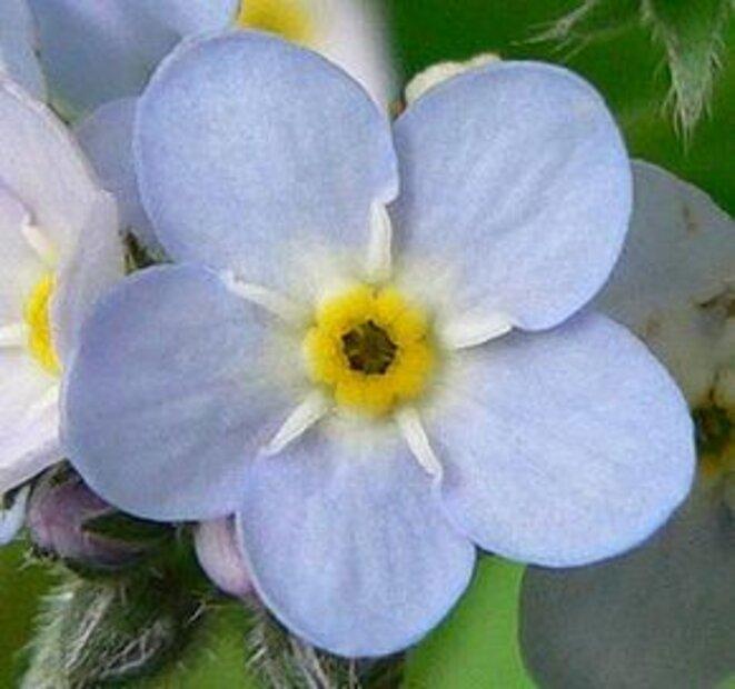 290px-forgetmenotflower