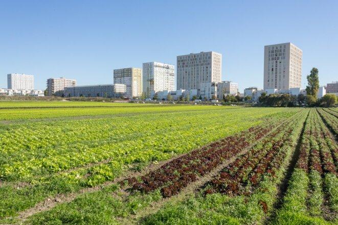 L'Île-de-France est autosuffisante en salades (c'est déjà ça !)